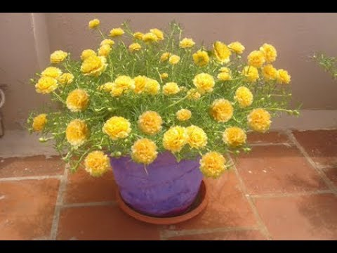 how to grow moss rose from seed