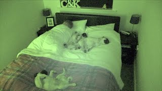 What Its Like Sharing a Bed With 3 Pugs!