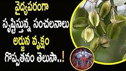 వైద్యపరంగా సంచలనాలు సృష్టిస్తున్న అర్జున వృక్షం గొప్పతనం తెలుసా? || Top Benefits Of Arjuna Tree
