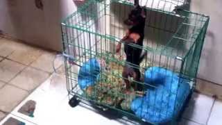 Miniature Pinscher Jump Over The Cage