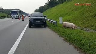 Pigs on the run slow down traffic on NSE