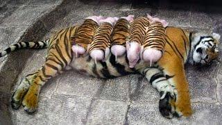 Tigresa Adopta Lechones y los Cría Como Se Fueran Suyos