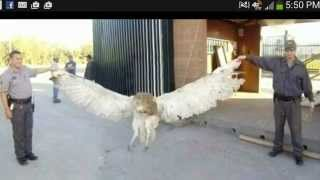Giant owl caught in Texas