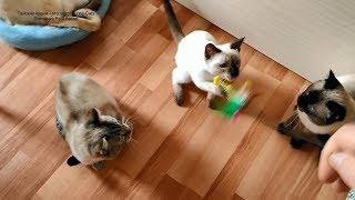 Не всех котов легко разбудить утром махалкой! Тайские кошки - это чудо! Funny Cats