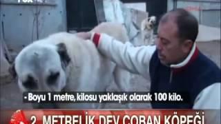 Türkiye nin 2 metrelik en büyük Kangal köpeği paşa