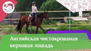 Английская чистокровная верховая лошадь на  ilikepet