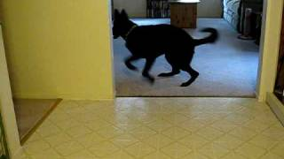 Jack Russell Mix And Black German Shepherd Playing Chase