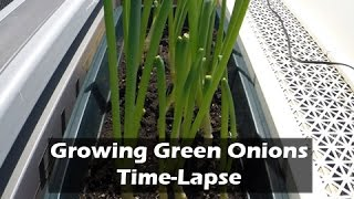 Growing Green Onions Time-Lapse