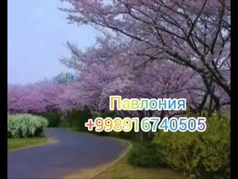 Павлония фаргона +998916740505