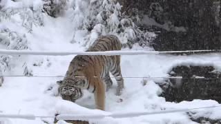雪の多摩動物公園 雪の中のアムールトラ「シズカ」 thumbnail