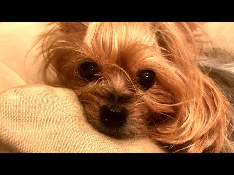 Yorkshire Terrier Found Crushed by Fed Ex Package