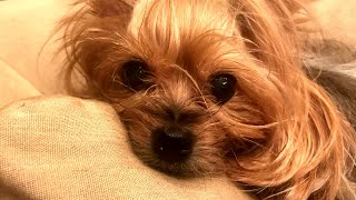 Yorkshire Terrier Found Crushed by Fed ...