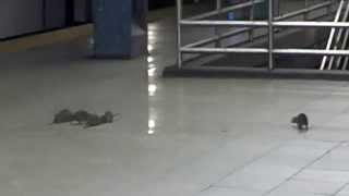 Repeat youtube video Family of Fearless Rats Take Over Midtown Manhattan Subway
