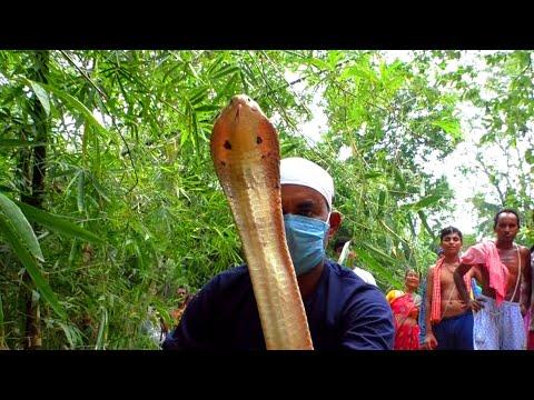 नागिन कुंडली मारकर कैसे अपने अंडों की रक्षा करती हैं देखे। Unbelievable monocled cobra lays 32 eggs.