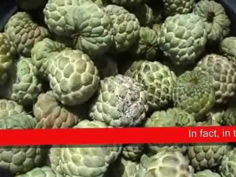 Indonesian Sugar-Apple Fruit Harvest