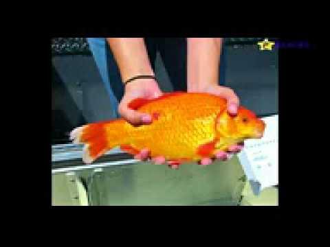 Researchers: Giant Goldfish Threatens Lake Tahoe