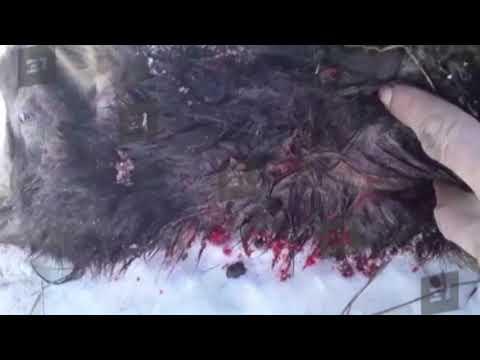 «Кто-то высосал кровь». В южноуральском селе неизвестное существо убило всех овец