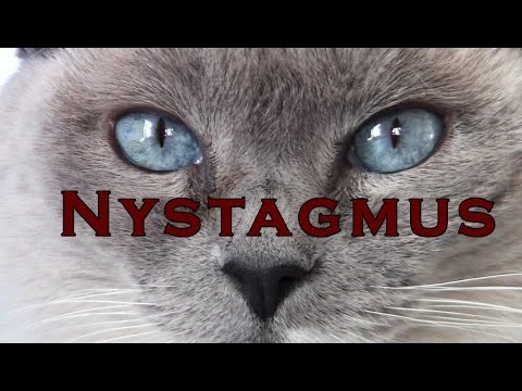 Cat's eyes quiver and shake – Nystagmus - Blue Point Siamese
