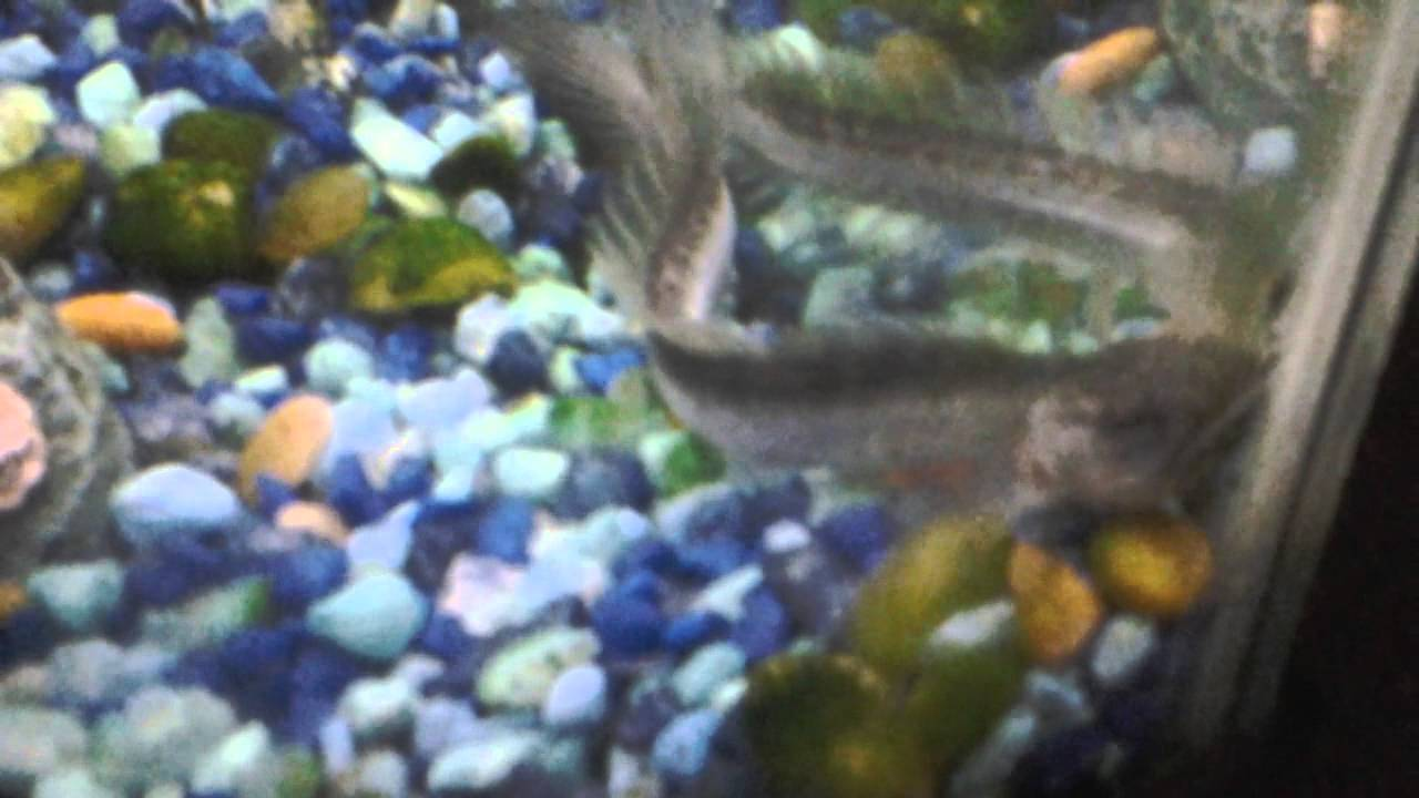 My pet dragon fish and more youtube for Fish and more