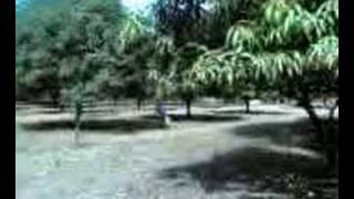 balayan  batangas mango farm