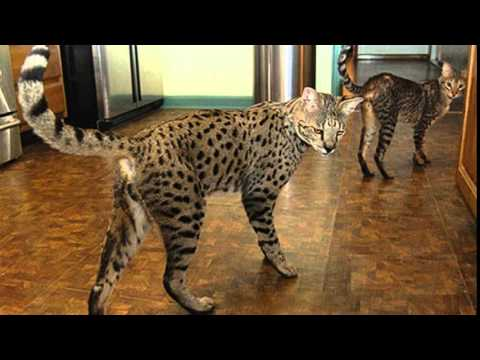 Savannah cat vs bengal size