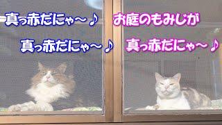 真っ赤なもみじを眺めてまどろむ猫達