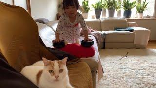 さっきまで一緒に遊んでいたのに急にほっとかれて困惑する実家猫 スコティッシュ A cat that is suddenly neglected by my daughter