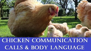 Chicken Communication: Calls, Body Language & what they mean