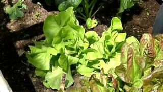 How to Grow Butterleaf Lettuce : Planting & Gardening Vegetables