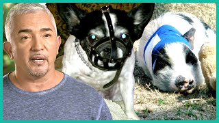 Cesar Must Control A Dog That Killed Two Pigs | Cesar 911