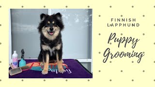 Grooming Your Finnish Lapphund Puppy