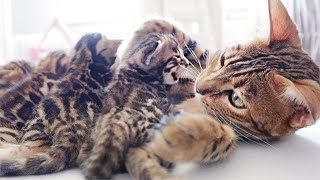 Mother Cat Calms her Meowing Kittens