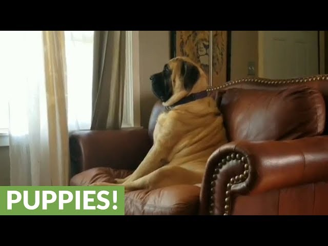 English Mastiff deeply contemplates nap time