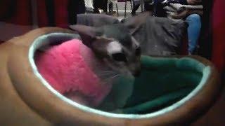 ???? Сфинкс Петерболд в Своем Домике ???? Такой Няшный и ОЧЕНЬ Красивый Котик | Породы Кошек