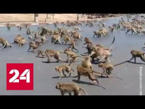 Обезьяны разбушевались: в Таиланде без туристов они устраивают войны между собой - Россия 24