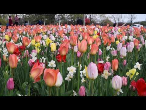 Ottawa Tulip Festival 2017