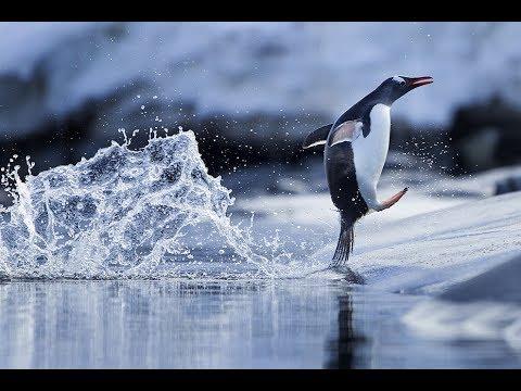 Penguins. National Geographic Animallife