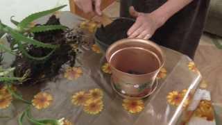 Как правильно посадить алоэ. Перевалка  растения.