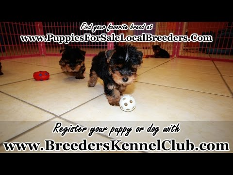 Yorkshire Terrier, Yorkie, Puppies, Dogs, For Sale, In Mobile, County, Alabama, AL, 19Breeders