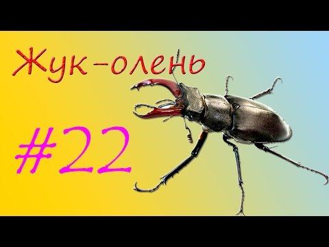 Жук-оленьиз YouTube · Длительность: 5 мин7 с