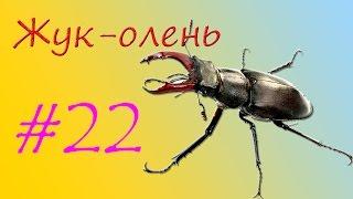 видео Жук-олень: описание