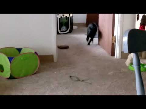 Bombay cat and kitten mix playing