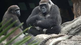05. Gorilla baby (2 days after birth) at Ueno zoo.ゴリラの赤ちゃん...
