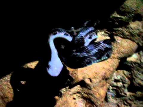 Snakes hunting and eating bats in a cave (in the jungle) :)