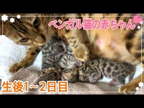 【生後1〜2日目】ベンガル猫ベルの子猫の成長記録