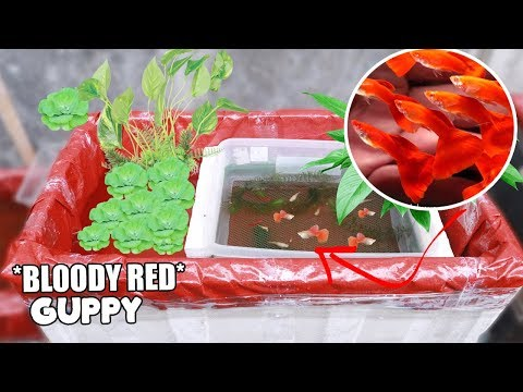Trying to breed my BLOODY RED GUPPY in 20 gallon tank