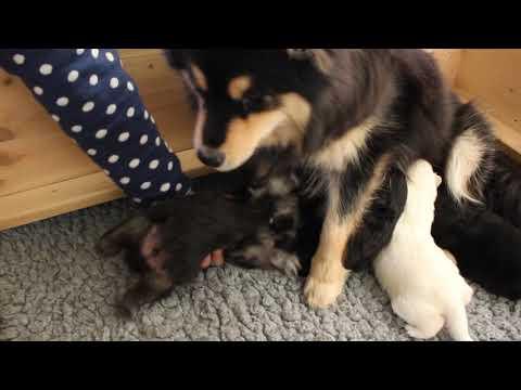 Finnischer Lapphund Kennel Erimathi N-Wurf Welpen 2 1/2 Wochen alt
