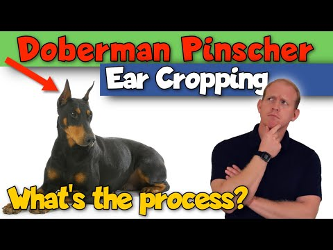 Doberman Pinscher Ear Cropping: What's it Like?