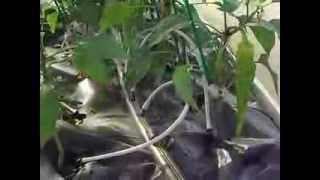 Topraksız Tarım,Marul, Domates, Biber, Salatalık  hydroponic system Seramız
