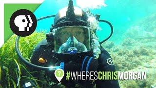 Wrangling the Ocellated Wrasse | #WheresChrisMorgan